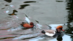 A mother mandarin duck leading its child in a pond Stock Footage