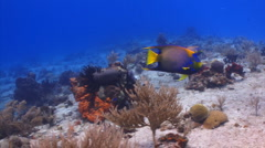 Queen angelfish swimming over a coral reef Stock Footage