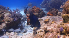 Parrotfish eating from coral reef Stock Footage