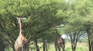 Giraffe walking Stock Footage