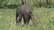 Stock Video Footage of Little elephant