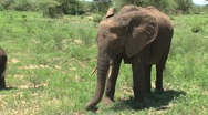 Stock Video Footage of Young Elephant