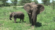 Stock Video Footage of Mother and baby Elephant
