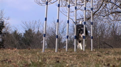 Dog weaves through agility poles Stock Footage