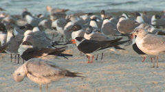 P01403 Black Skimmer and Other Ocean Birds Stock Footage