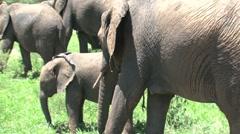 Elephant group in Tarangire National Park Stock Footage