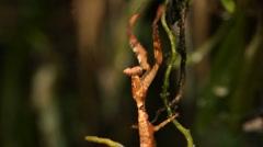 Dead leaf mantis (Acanthops falcatoria) Stock Footage