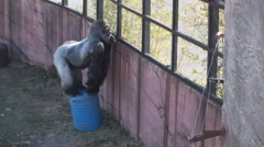 P01408 Gorilla in Captivity Stock Footage