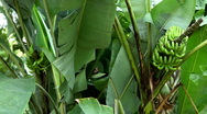 Stock Video Footage of Green Small Banana Tree and Fruit, Growing Bananas, Farm