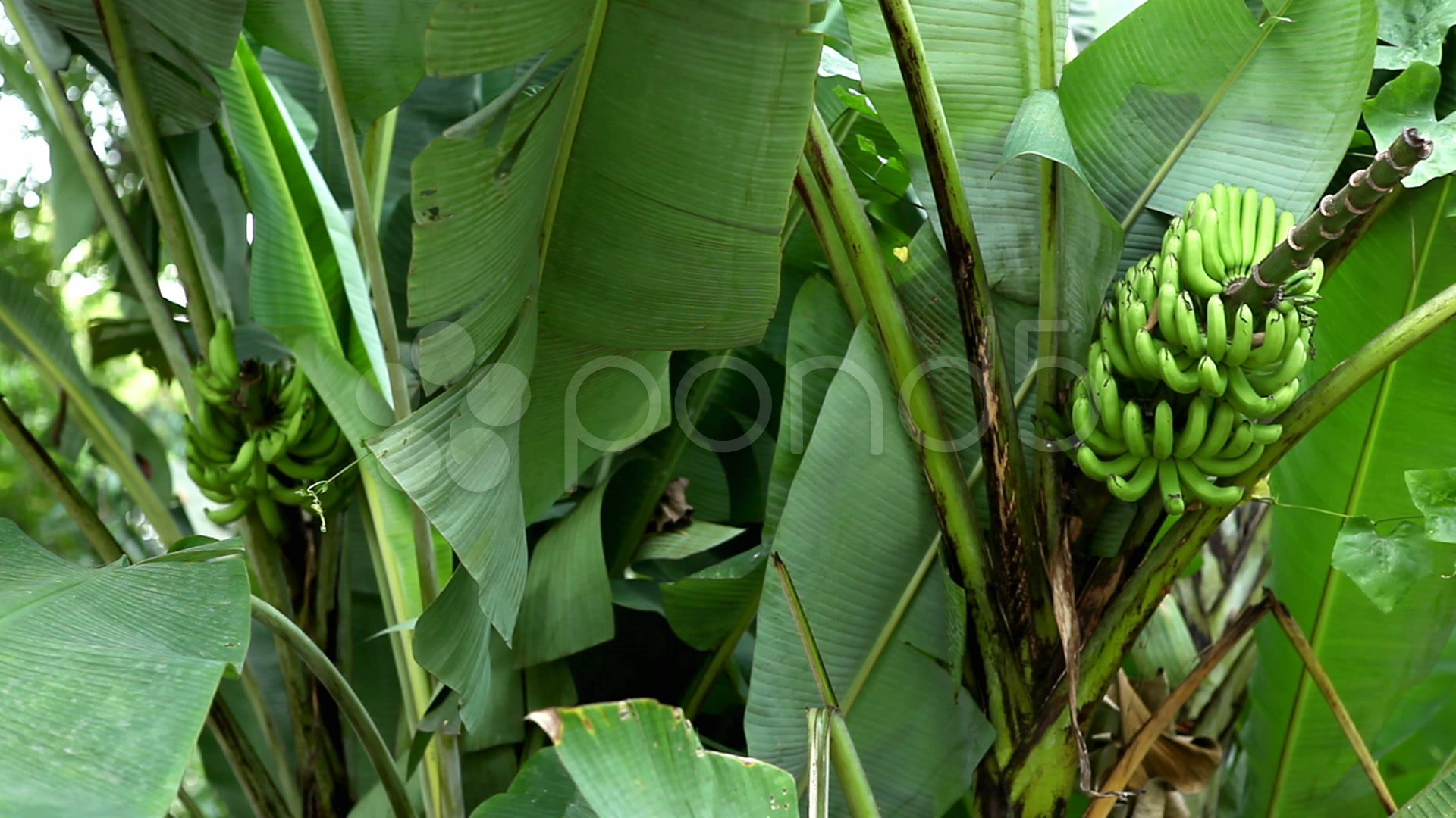 Green Small Banana Tree And Fruit, Growing Bananas, Farm ...