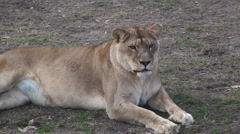 P01412 Female Lion Resting Stock Footage
