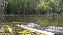 P01416 Alligator at Ground Level Stock Footage