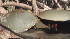 P01419 Horseshoe Crabs Breeding Stock Footage