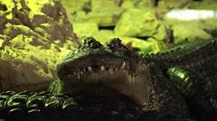 Crocodiles in a green rocky lake 1 Halloween Stock Footage
