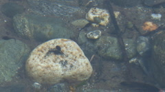 Tadpoles & Rocks zoom out Stock Footage