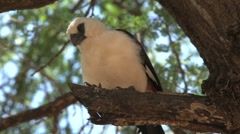 Little white African birds Stock Footage