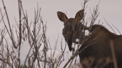 Moose calf browsing 2 Stock Footage