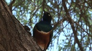 Stock Video Footage of Superb starling bird