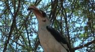 Von der Decken's Hornbill Stock Footage