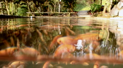 Tilapia underwater Stock Footage