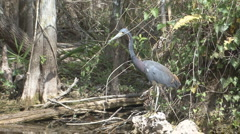 P01425 Tri-colored Heron Stock Footage