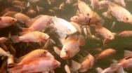 Tilapia underwater Stock Footage