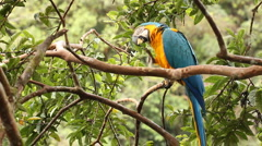 Blue-and-yellow Macaw (Ara ararauna) - stock footage