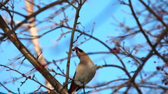 Waxwing. Stock Footage