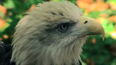 Eagle Closeup - stock footage