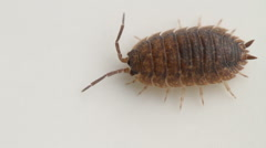 Woodlouse Stock Footage