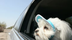 Stock Video Footage of Dog's Day Out Car Ride Wears Cute Blue Sun Shade Hat