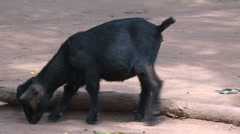 Black goat looking for food Stock Footage