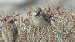 Sparrow in a hedge Stock Footage