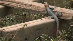 Orange-headed lizard Stock Footage