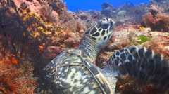 Turtle out of cave swims over coral reef Stock Footage