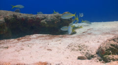 School yellowtail snappers Stock Footage