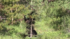 Bear in Quebec - stock footage