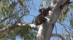 Koala bear on eucalyptus Stock Footage