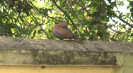 Stock Video Footage of Brown Dove