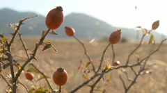 Red briar berry on the grass hills with mountains in slowmotion 51s MJPEG 01. Stock Footage