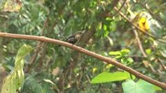 Colibri in tree Stock Footage