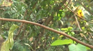 Stock Video Footage of colibri in tree