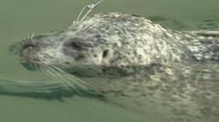 Harbor Seal Close Up, Victoria, Canada Stock Footage