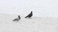 Pair of pigeon walking on snow Stock Footage