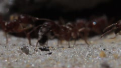 Fire ants  - stock footage