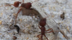 fire ants carrying a leaf - stock footage