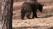 Stock Video Footage of black Bear 022