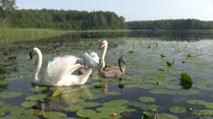 Femail swans with cygnets Stock Footage