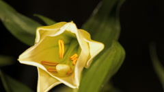 Timelapse Easter Lily Opening GFTHD Stock Footage