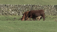 Cows and calf near Reeth, Swaledale. Stock Footage